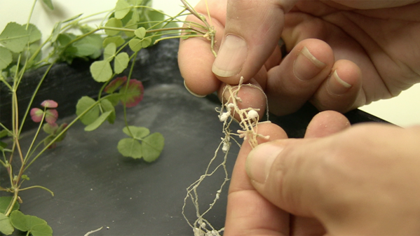 Plant roots with nodules in researcher's hands