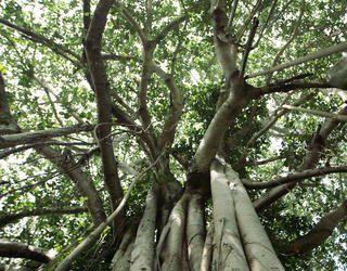 Huge Indian banyan tree