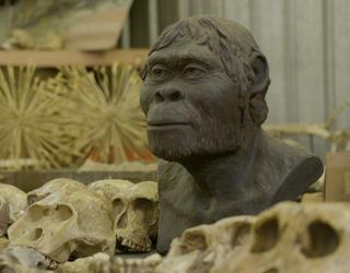 Model of an australopithecus among fossilized skulls