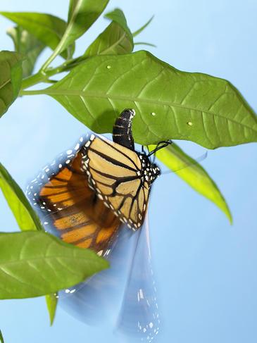 Papillon monarque pondant des œufs