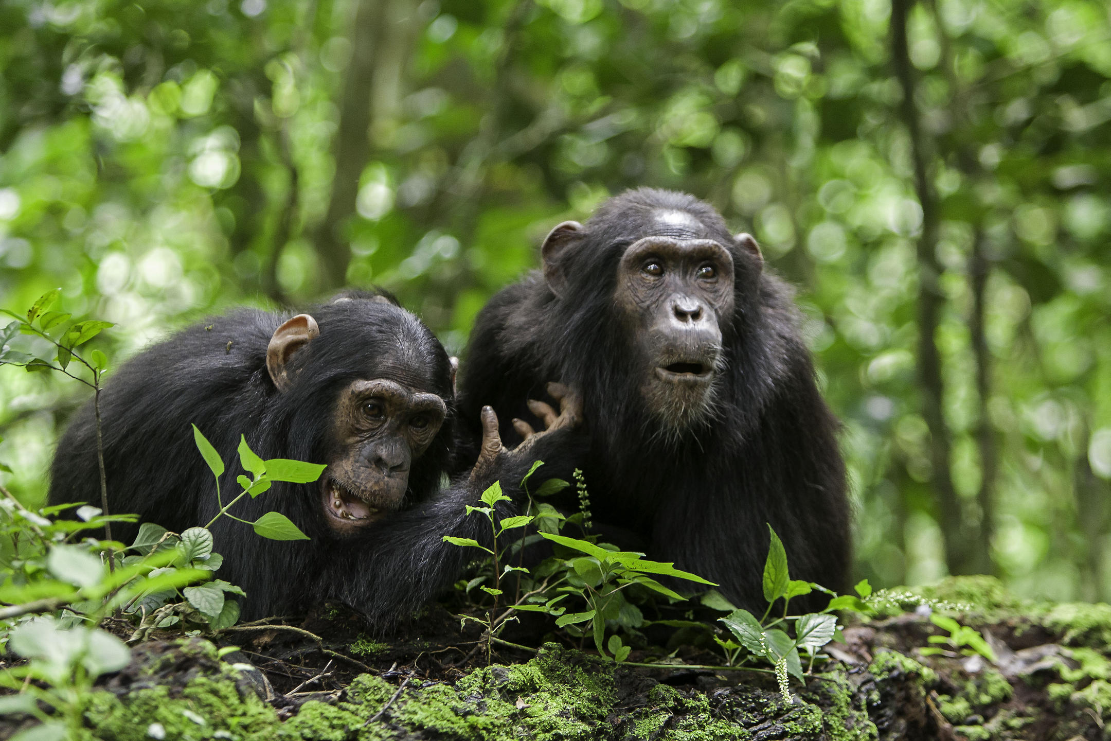 Jeunes chimpanzés
