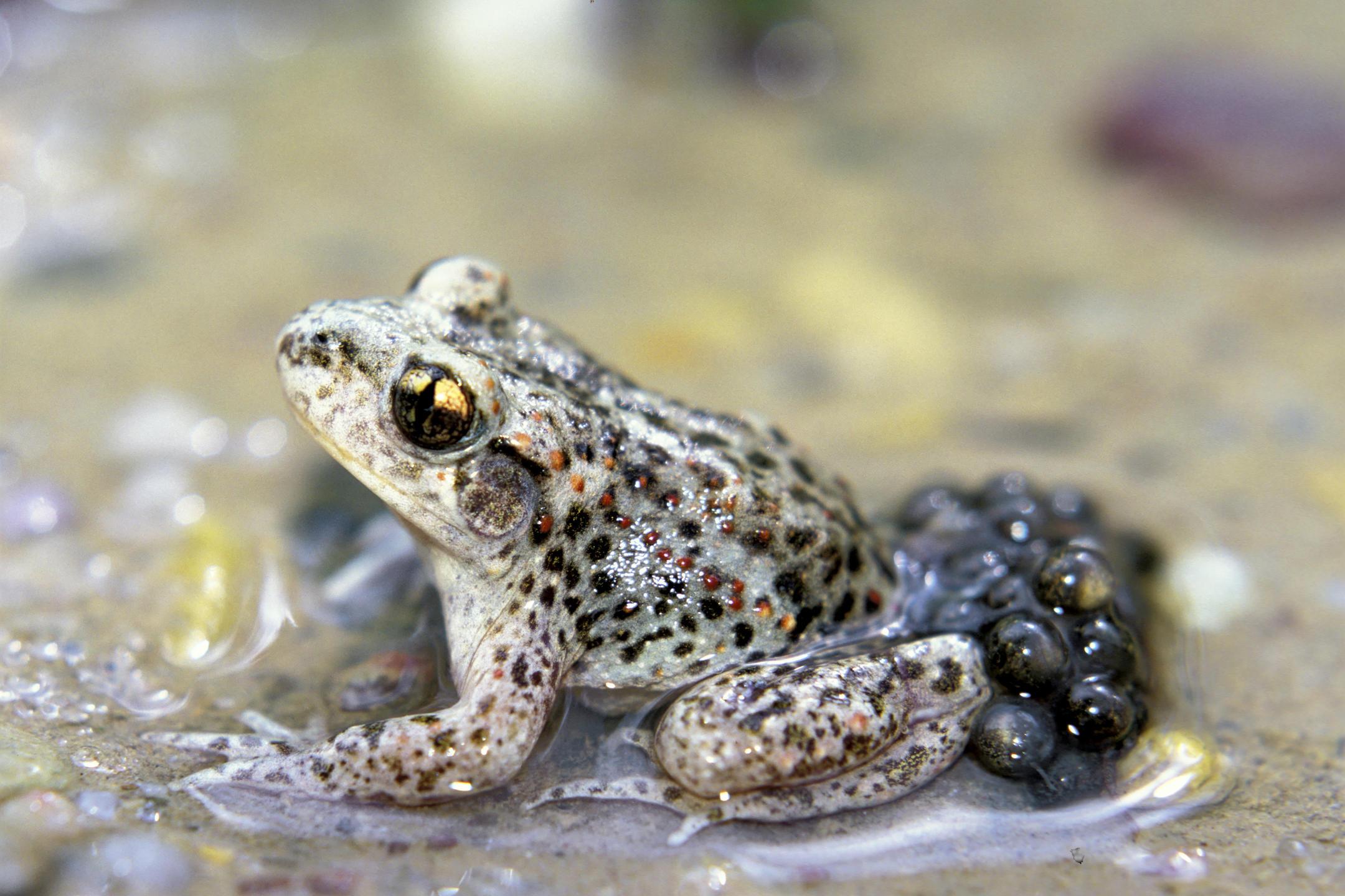Chez l'alyte accoucheur, ce sont les mâles qui portent les œufs.