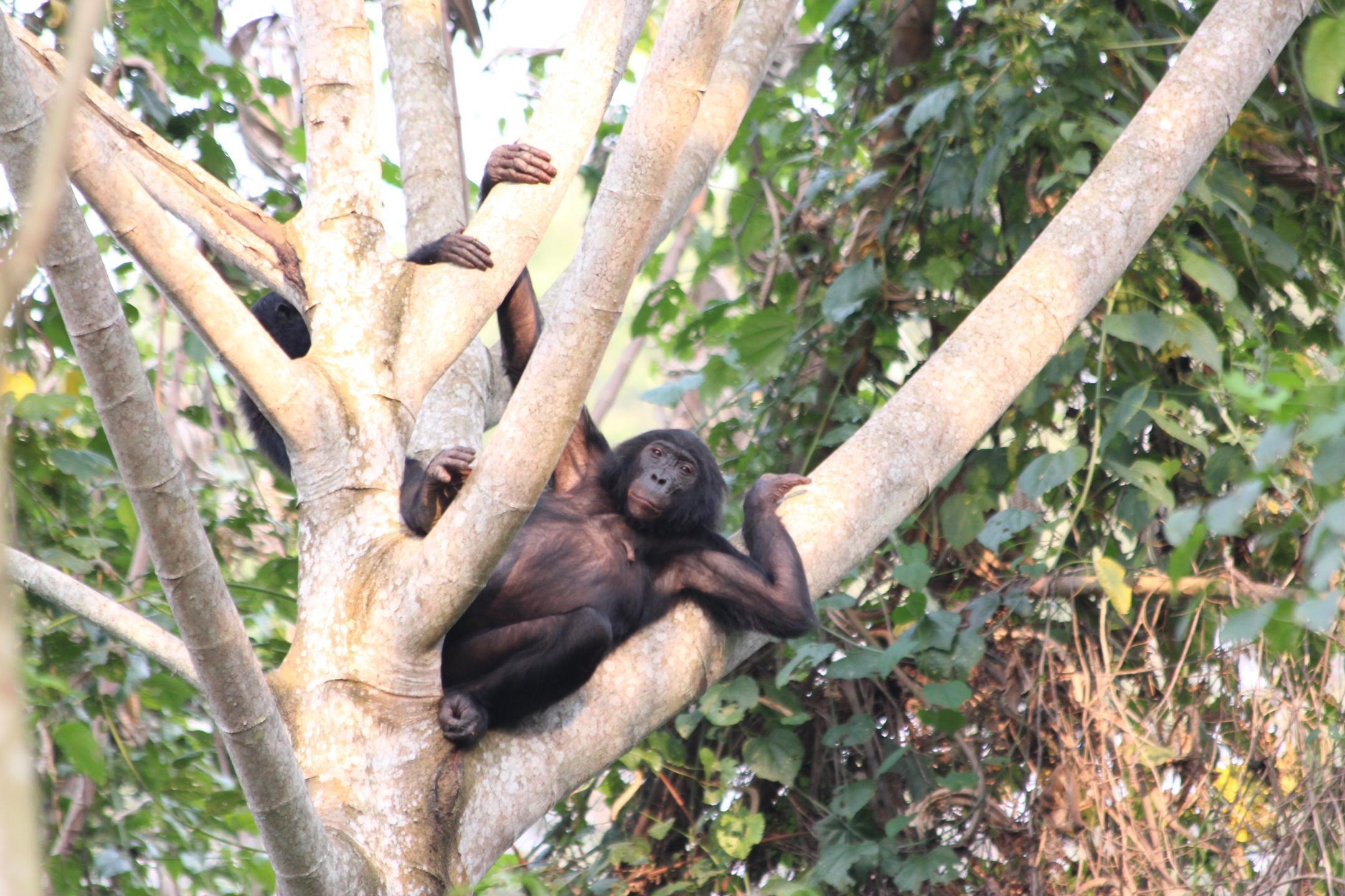 Bonobo adulte