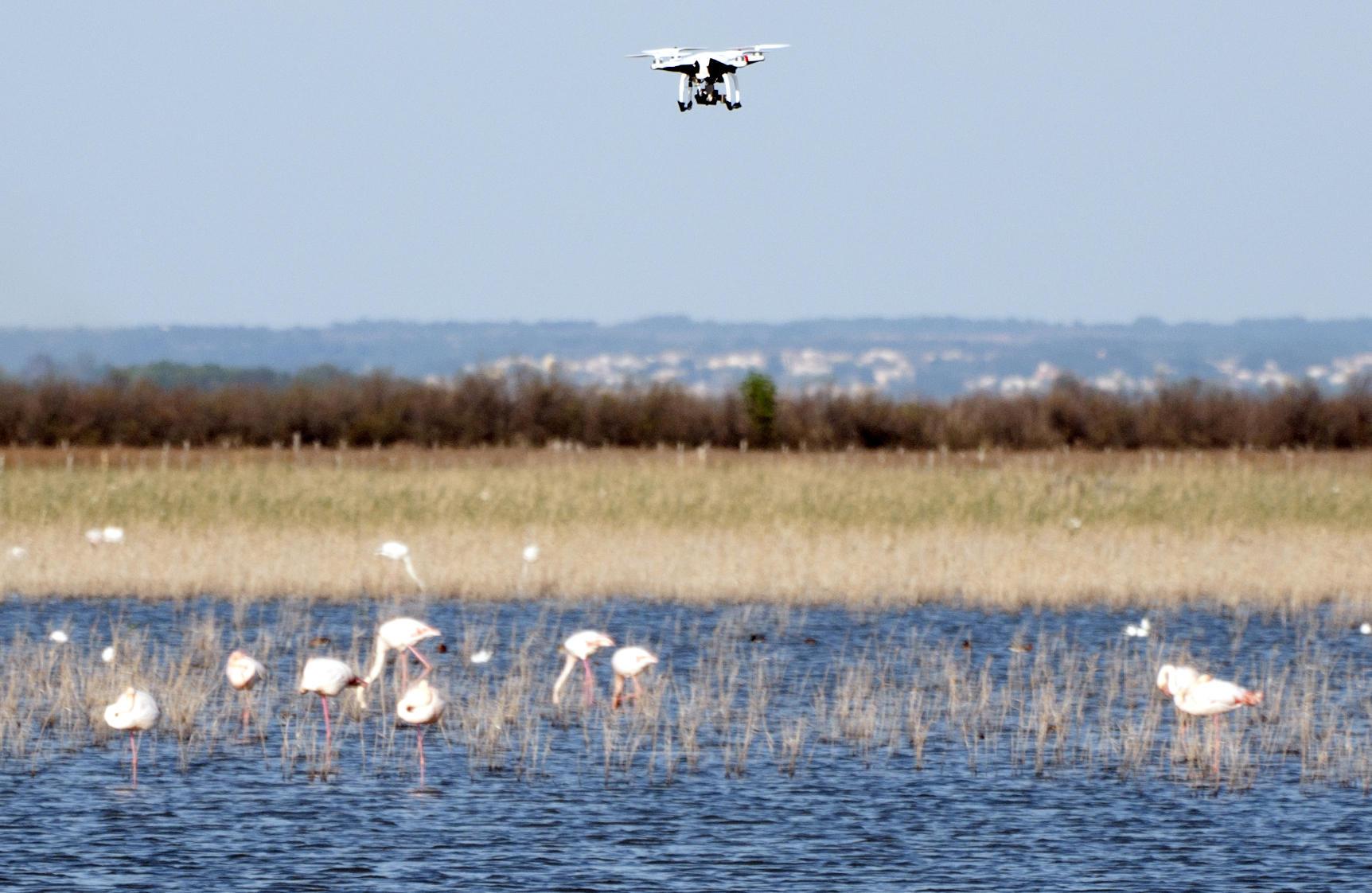 Un drone survole un groupe de flamands roses.