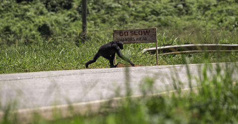 Chimpanzee crossing a road