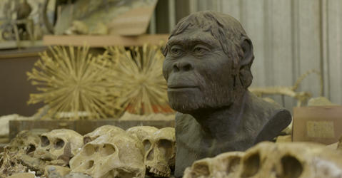 Model of an australopithecus among fossilized skulls