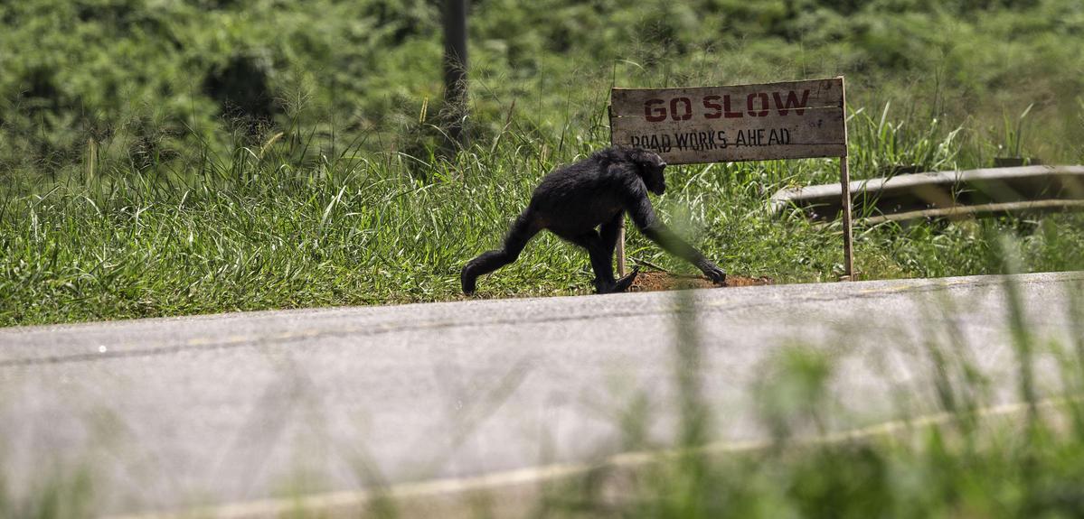 Chimpanzee crossing a road