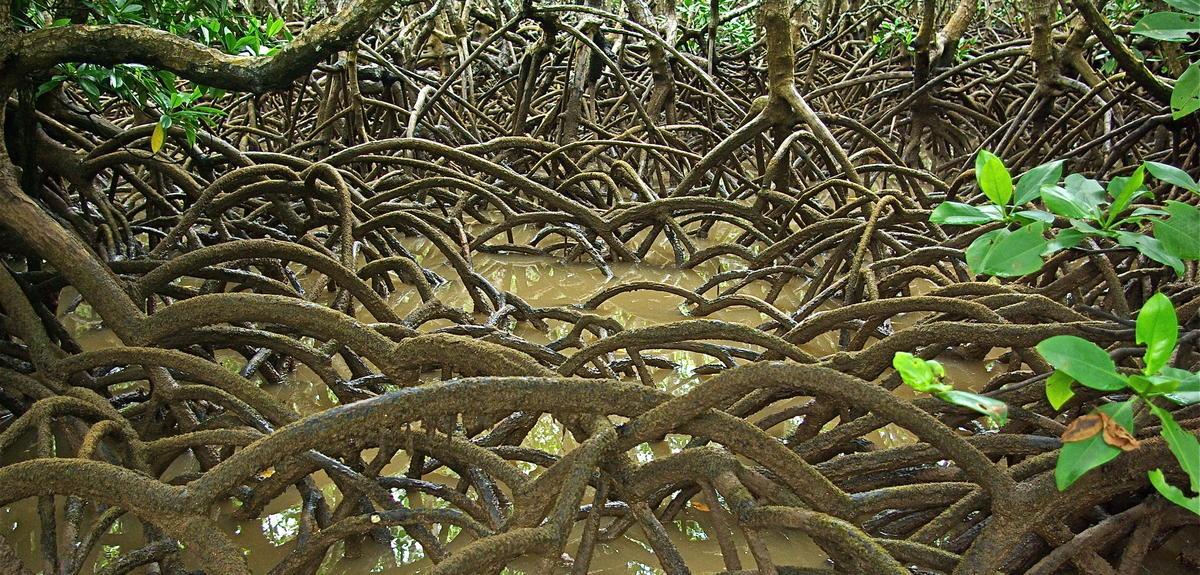 Mangrove de Mayotte