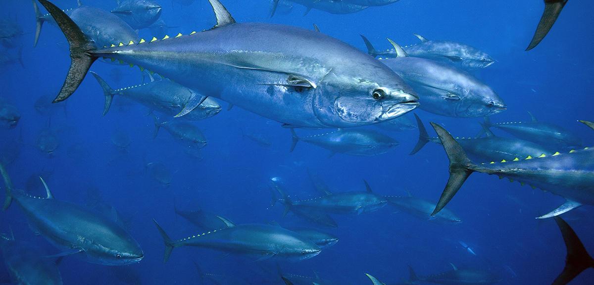 Tracking the bluefin tuna   CNRS News