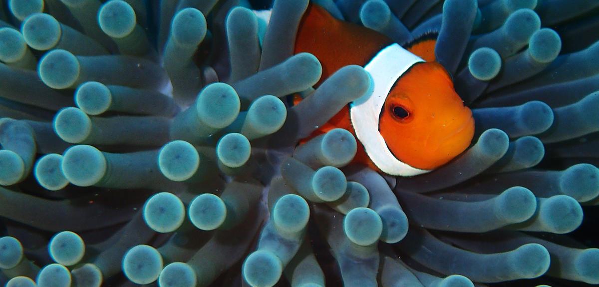 The Secret Life of a Clownfish | CNRS News