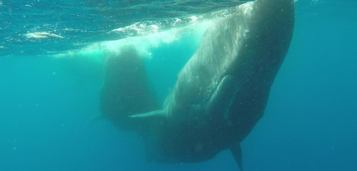 Underwater image of sperm whales near the surface
