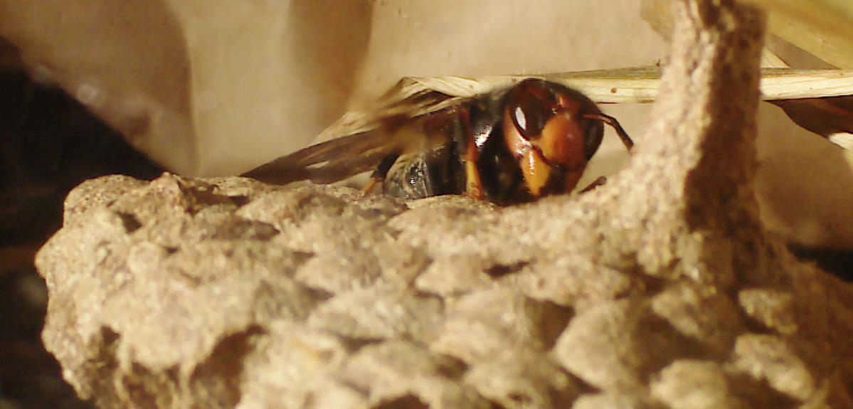 Yellow-legged hornet on nest