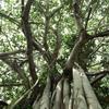Huge Indian banyan tree