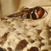 Yellow-legged hornet on nest